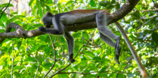 Red Colobus in Jozani Zanzibar