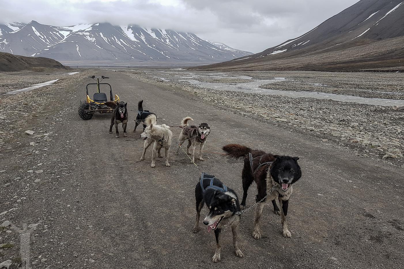 Hundspann med Alaskan Husky på Svalbard