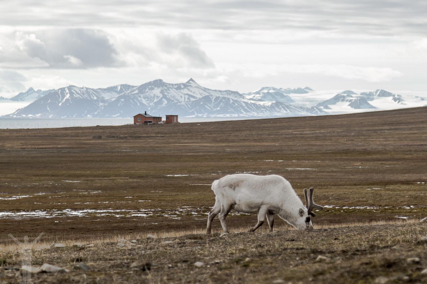Ren på Svalbard