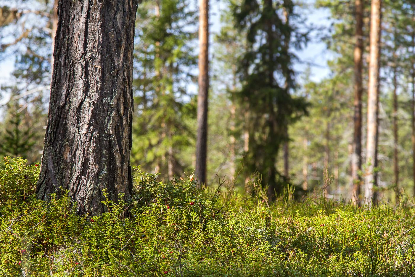 Skog i Dalarna