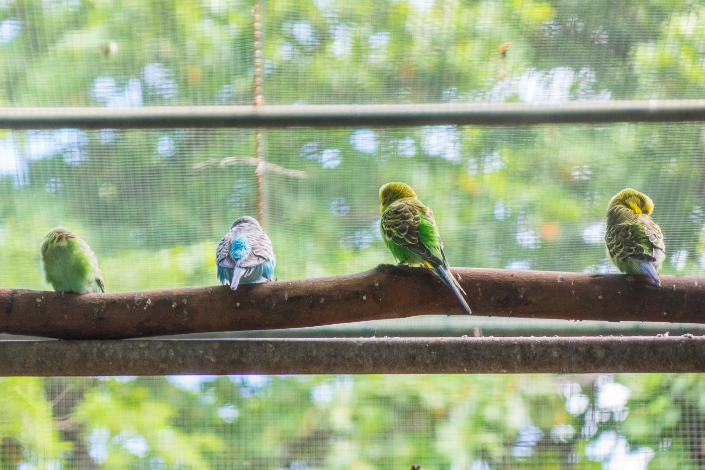 Undulater på Casela naturpark på Mauritius