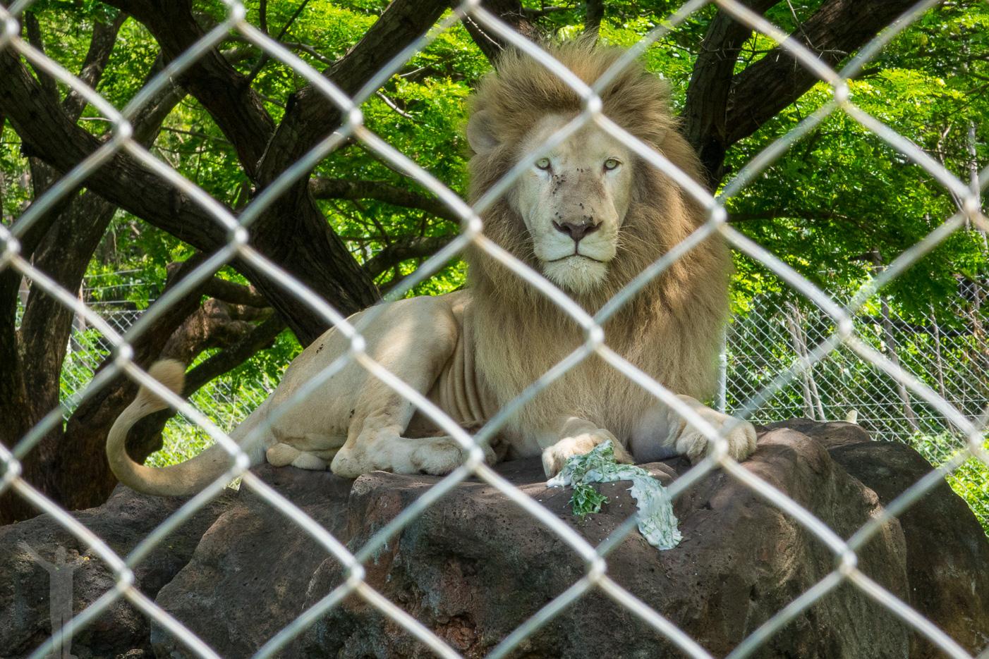 Lejonspyan kom upp medan vi stod och tittade.
