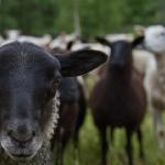 Alla fåren vill vara med och posera!
