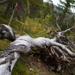Ett träd vars världsbild verkar en aning vriden.