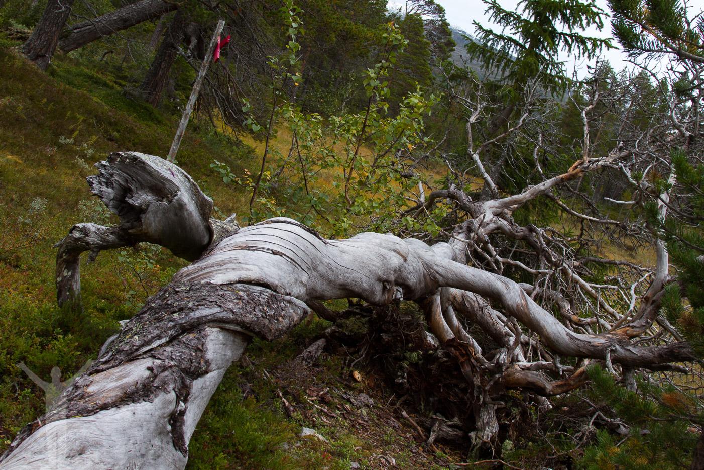 Gammalt träd i Vålådalen