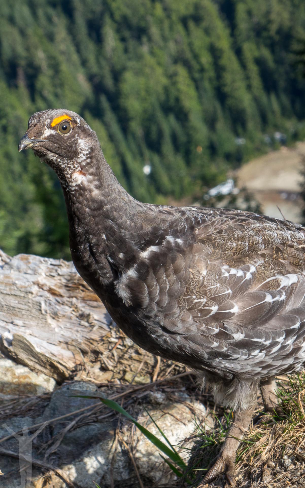 Fågel på Grouse Mountain