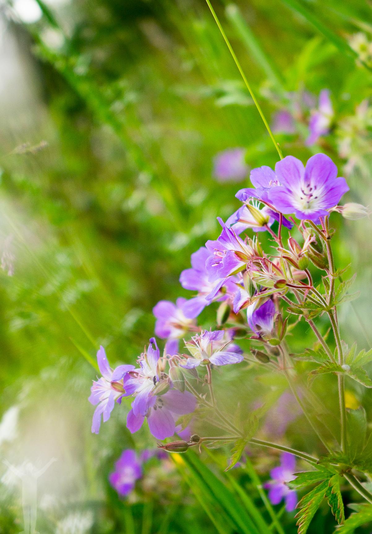 Blomster på Frösön