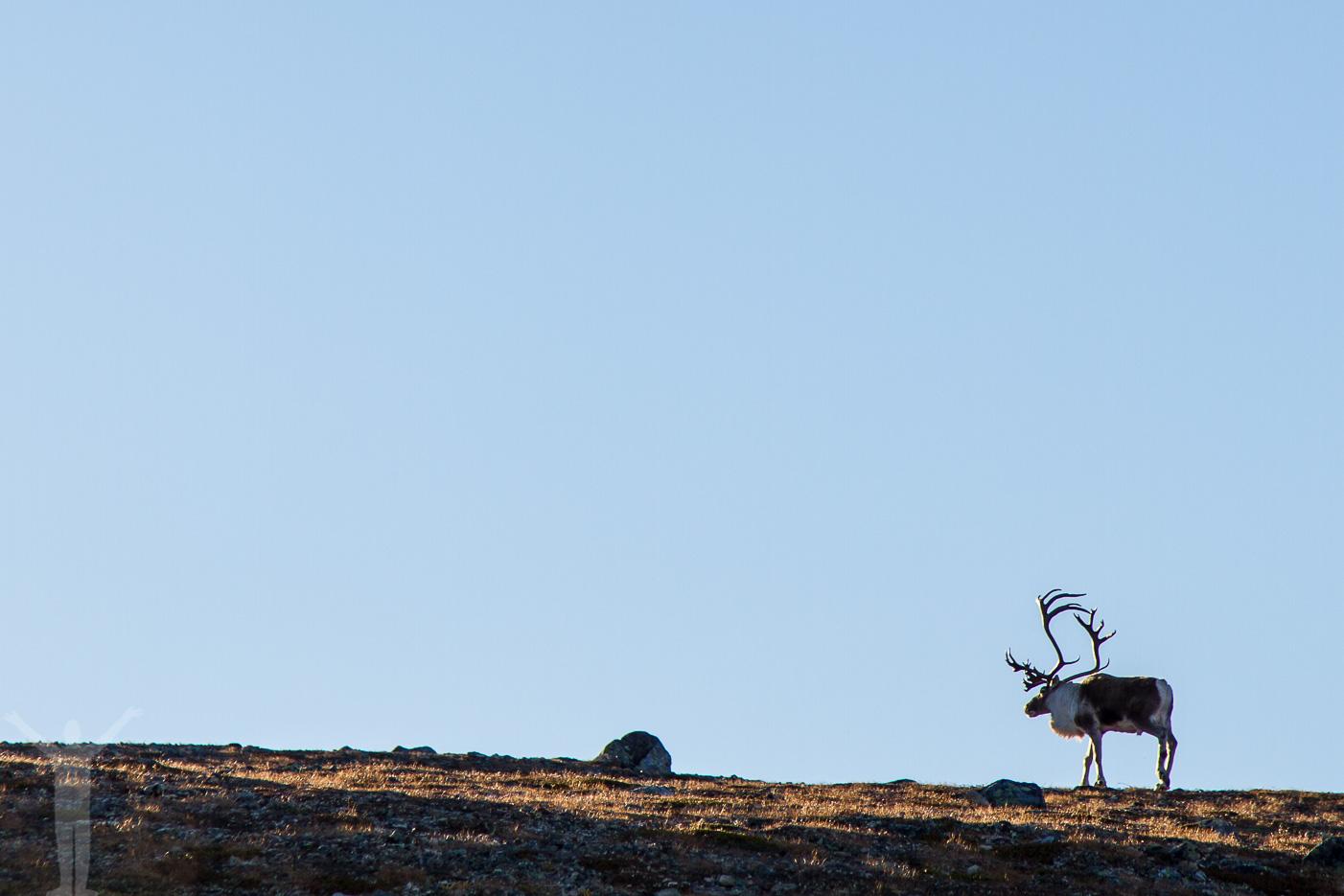 Renar på berget