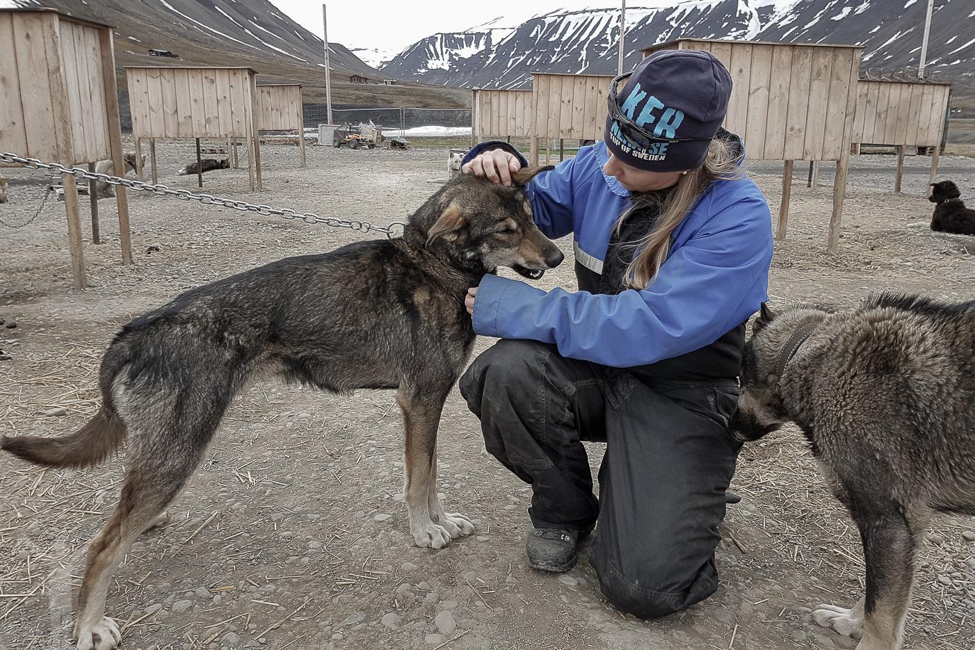 Alaskan Husky på Svalbard