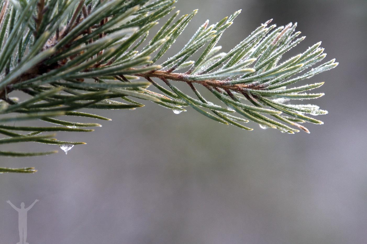 Frusen skog