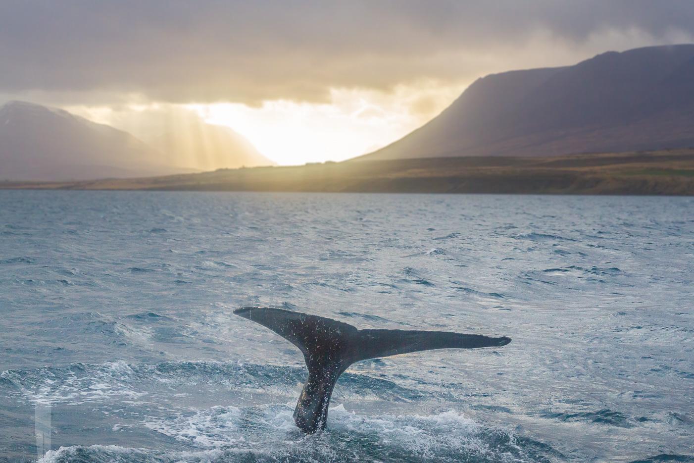 Valsafari på Island