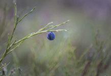 Fruset blåbär - sista övervintraren
