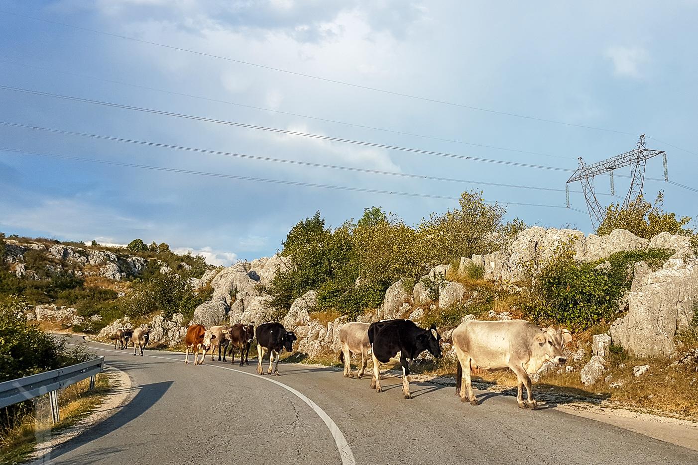 Kossor på vägen