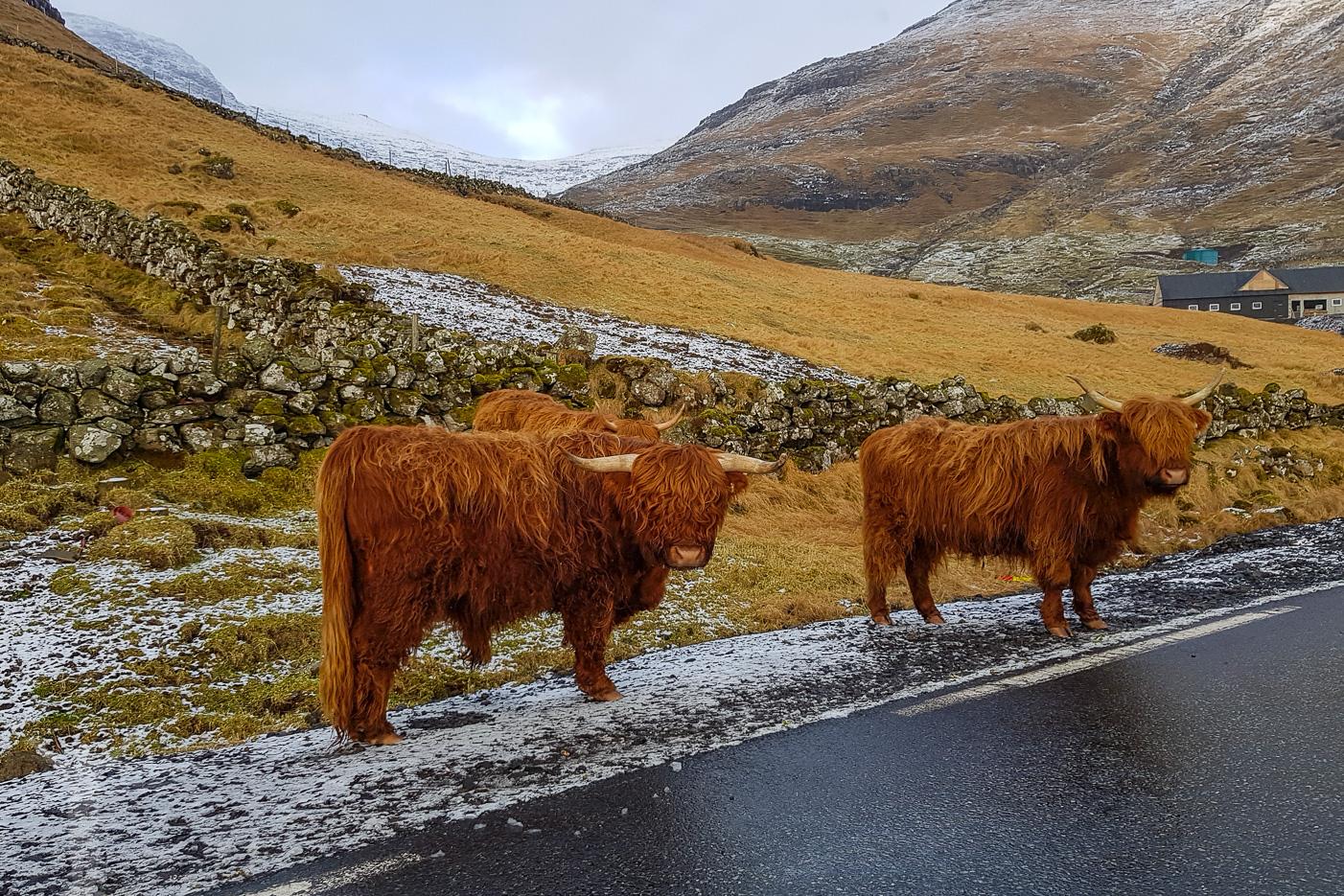 Highland cattle på Färöarna