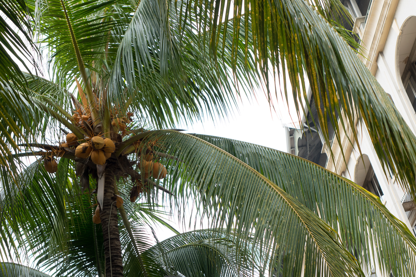 Palm i Port Louis
