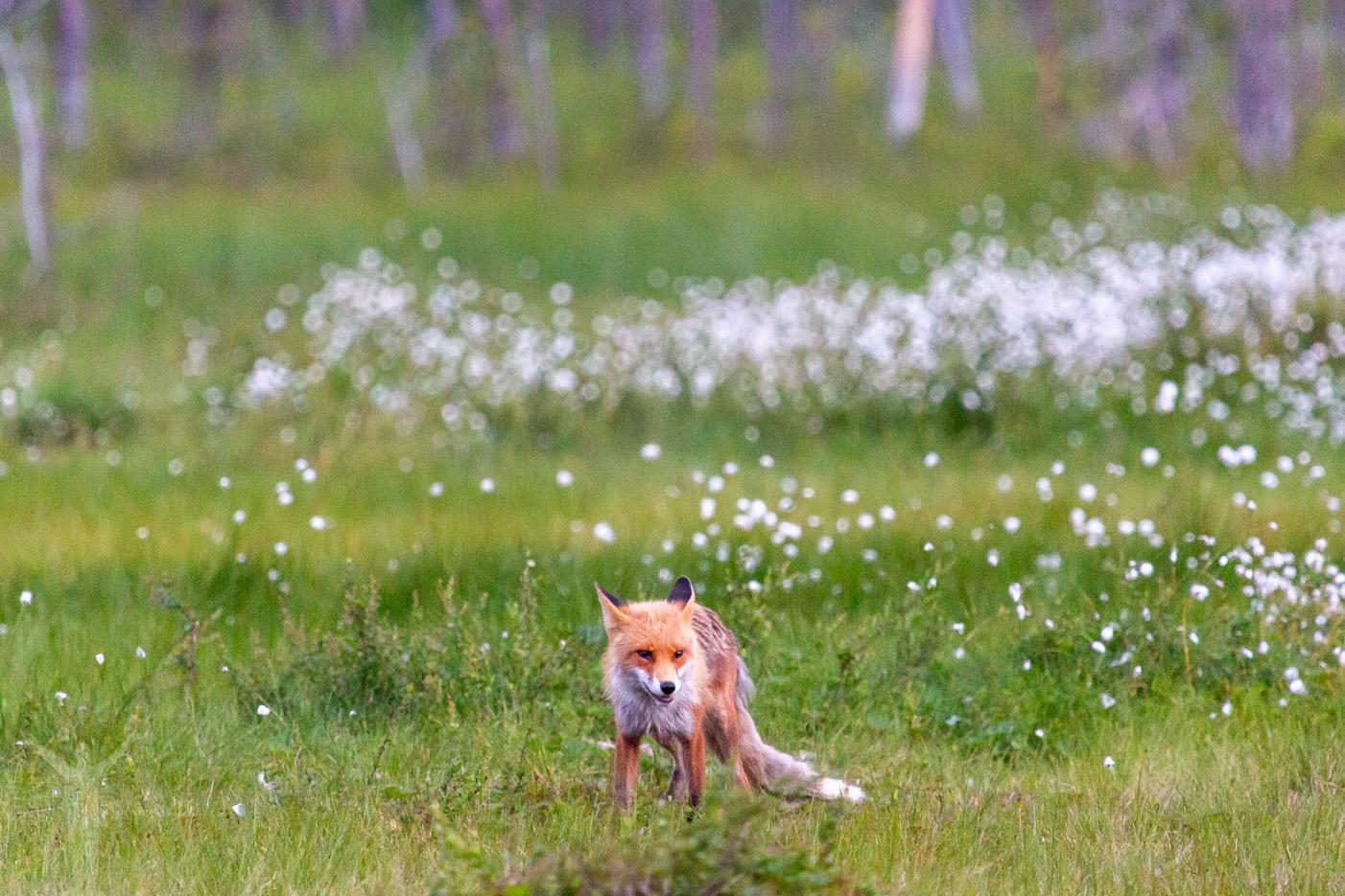 En räv i Jämtlands djupa skogar