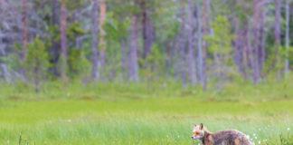 En räv kring vid vår björnspaning i Jämtland
