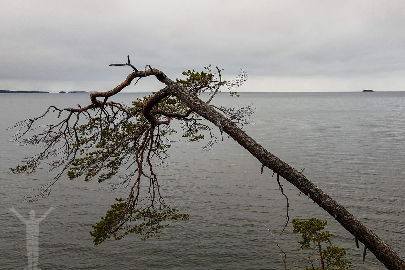 Träd som är på väg att falla ner i Storsjön