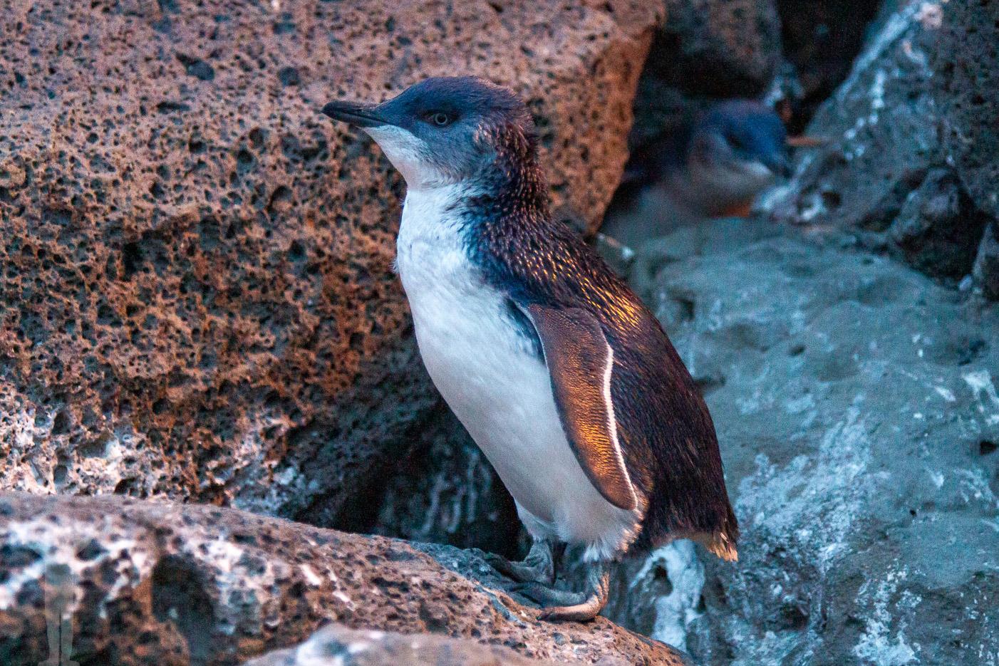 Pingvin vid St Kilda
