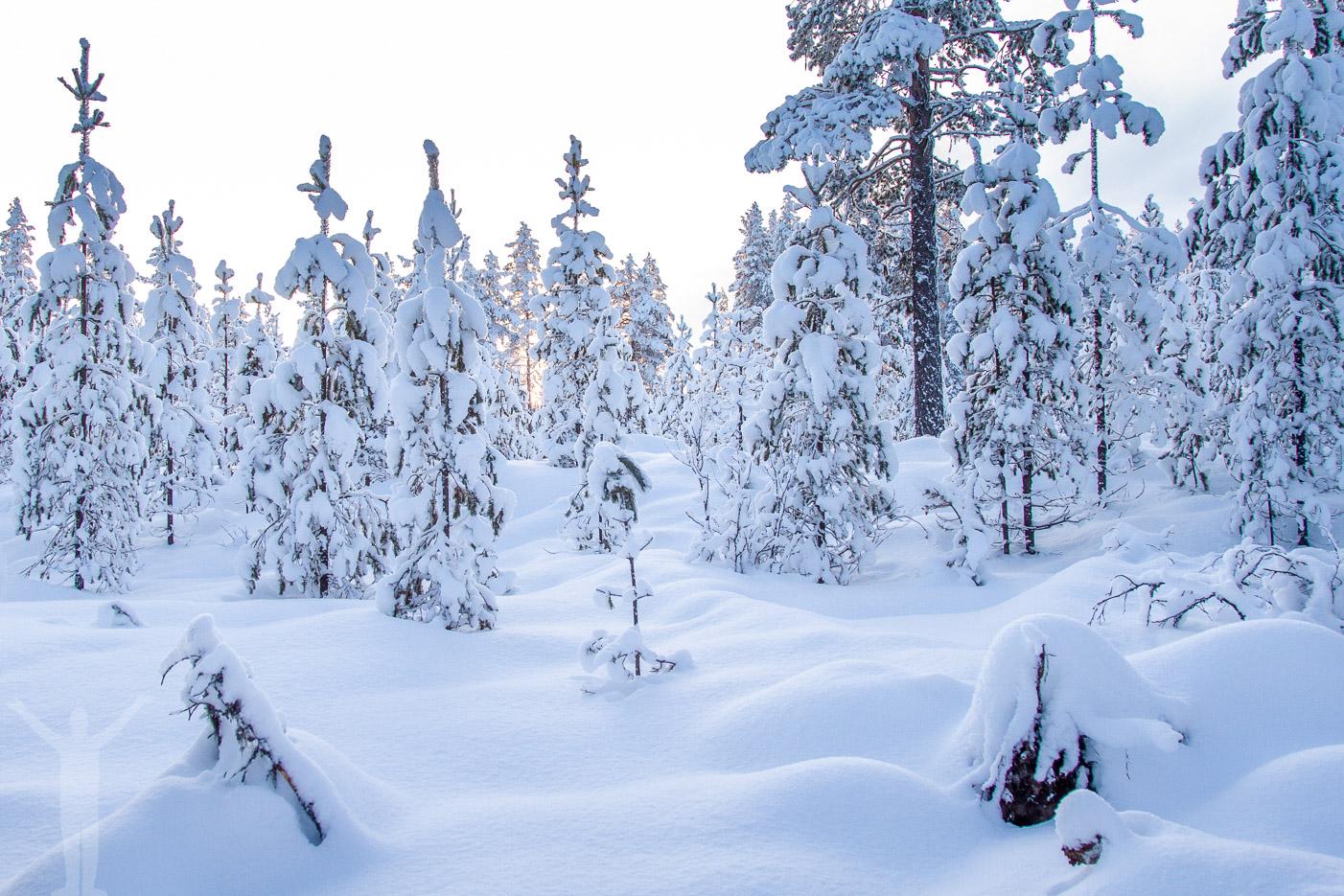 Snöklädd skog i Idre