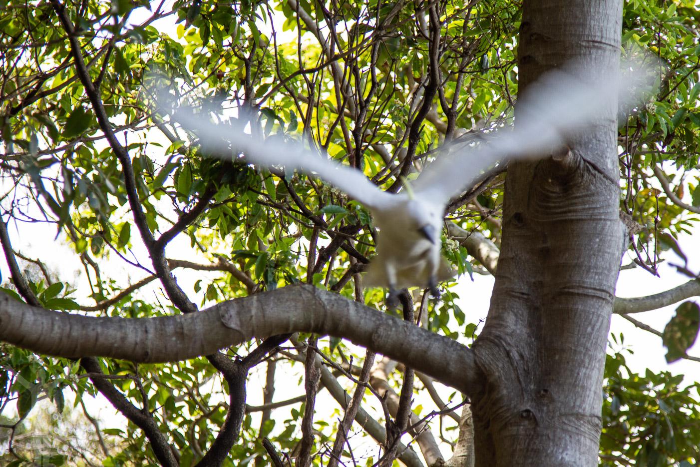 Fågelanfall i Sydney