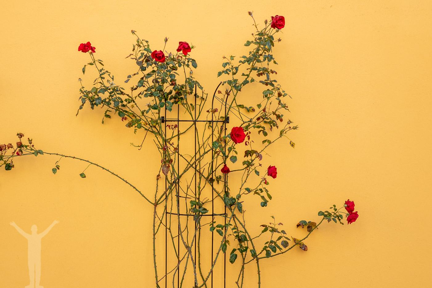 Blommor längs en vägg