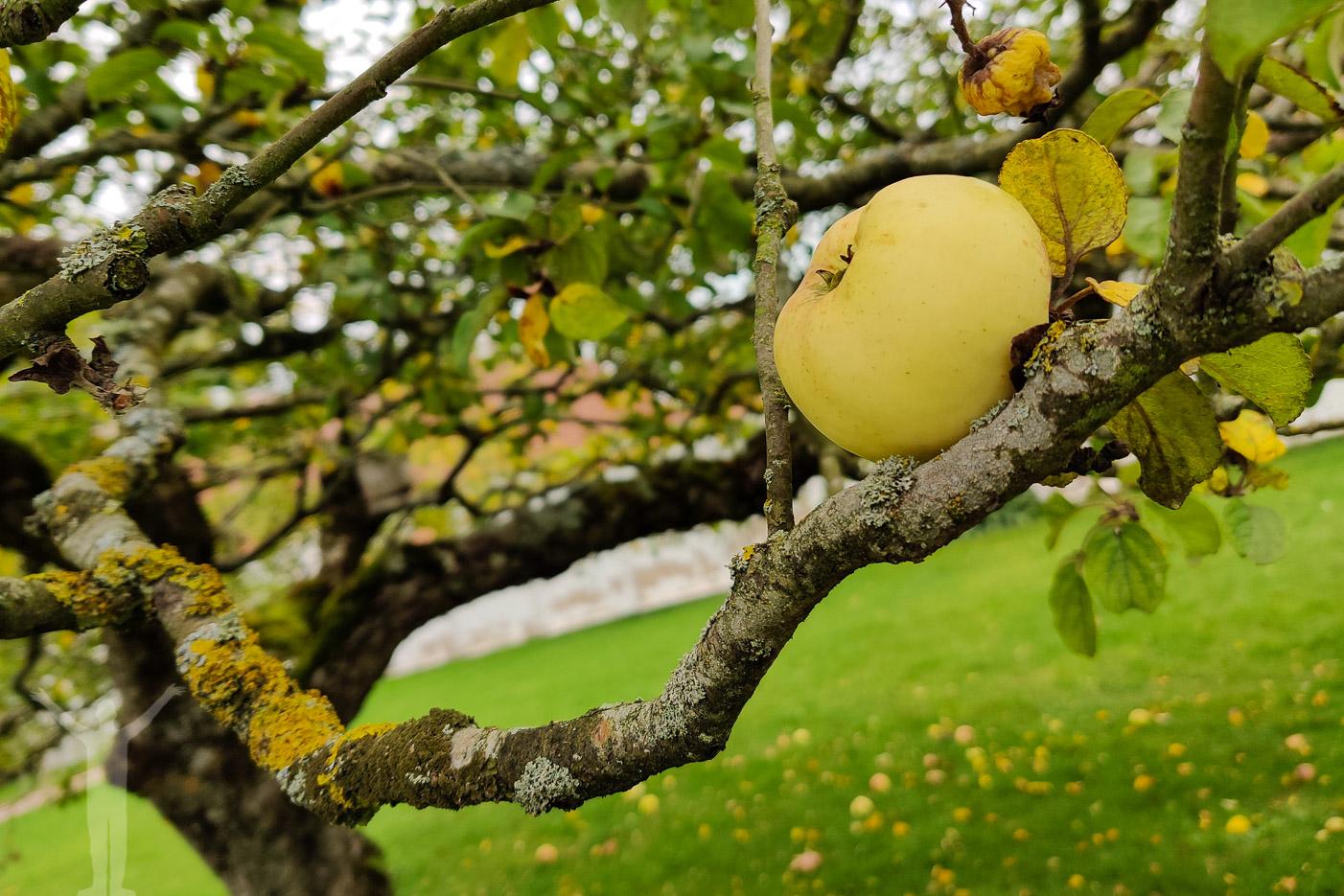 Äppleträdgårdar på Österlen