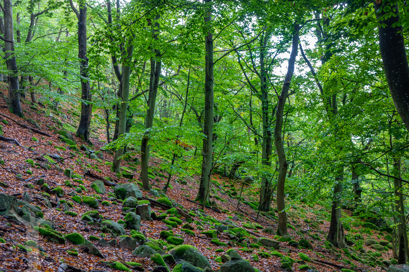 Vacker lövskog i Stenshuvud nationalpark