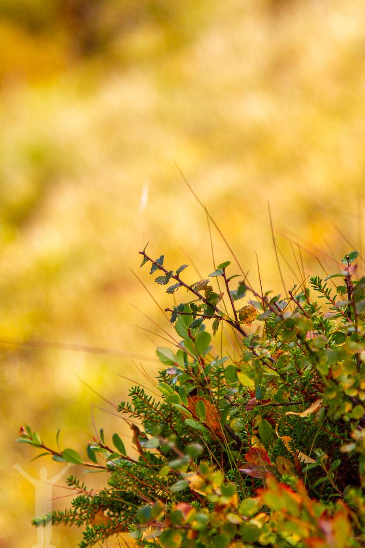 Växtlighet i fjällen
