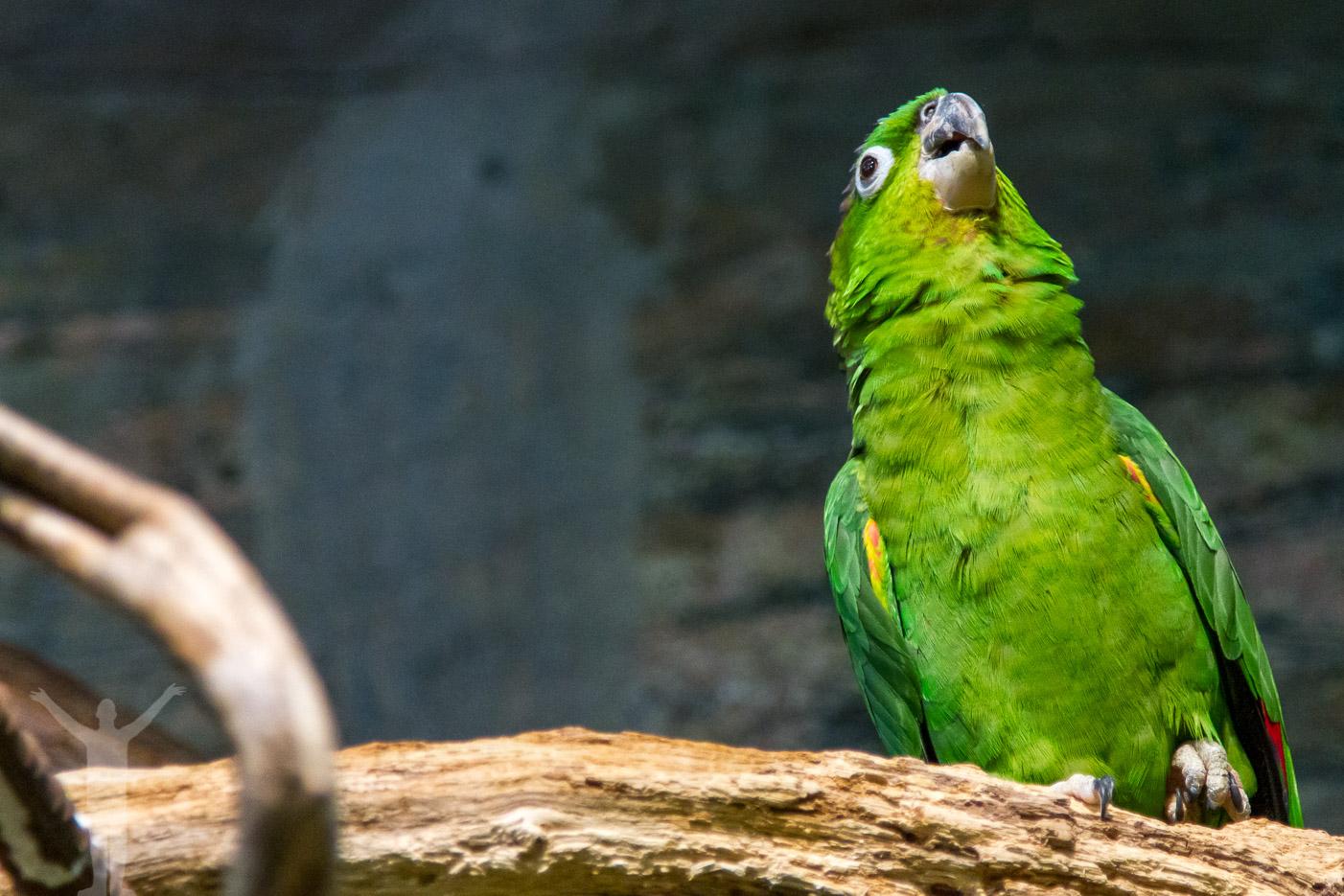 Grön papegoja på Universeum i Göteborg