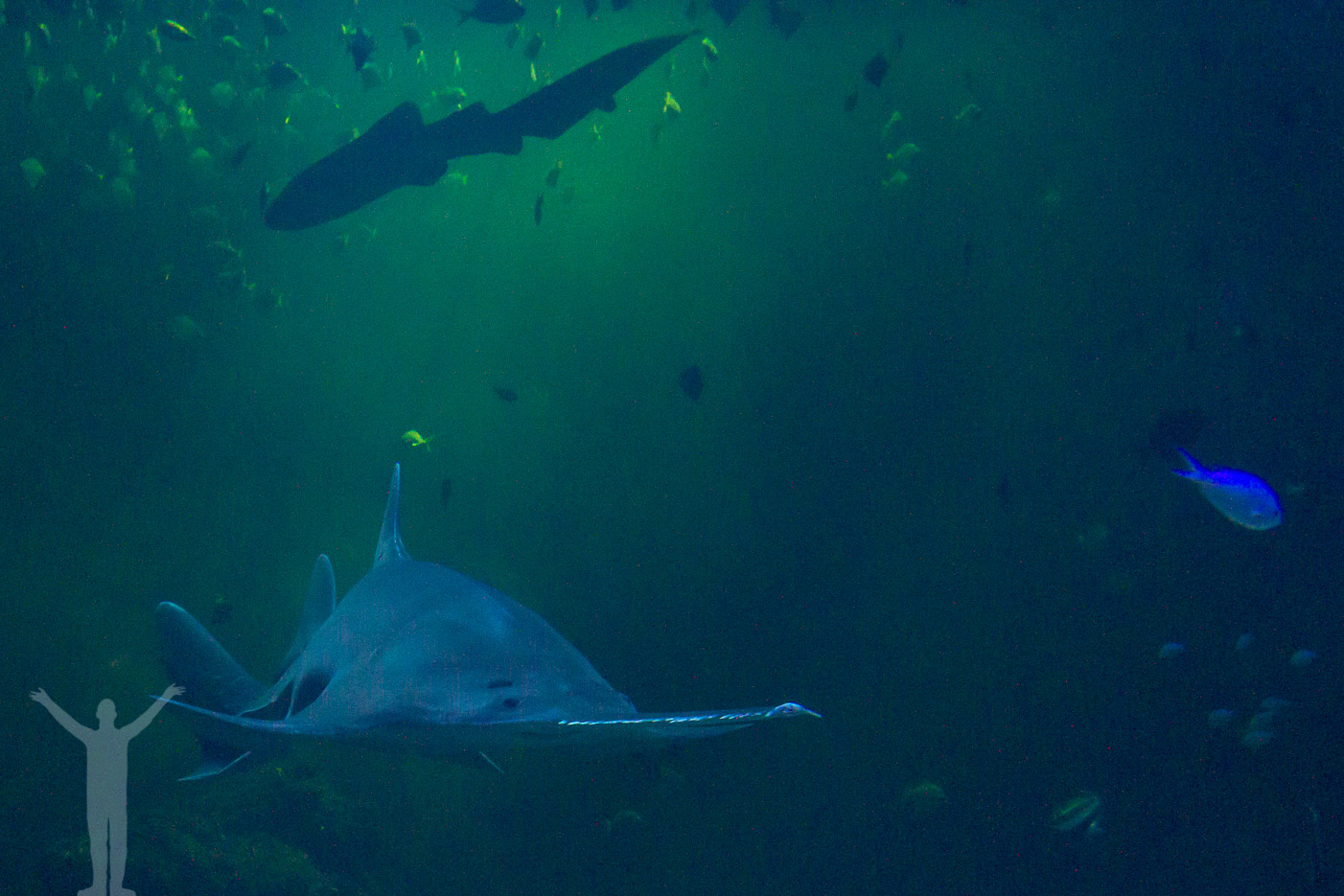 Haj i akvarium
