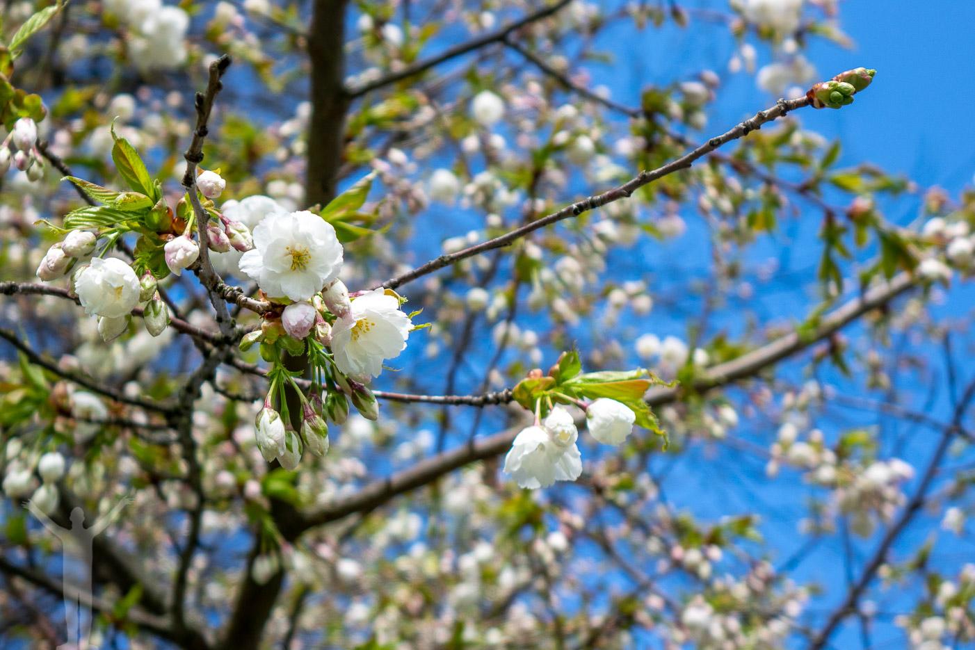 Blomning i träden